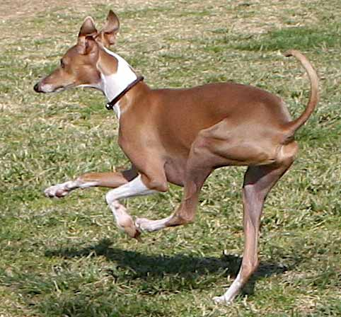 Whippet_Image